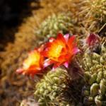 pflanzenliste_echinopsis_pampana
